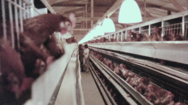 1978 WS Workers walking through a poultry farm / United Kingdom