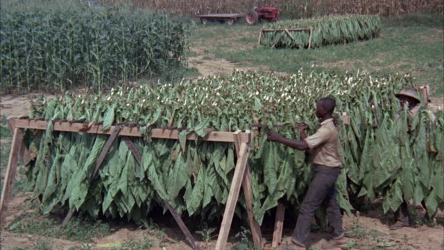 MS Workers working in large tobacco plants