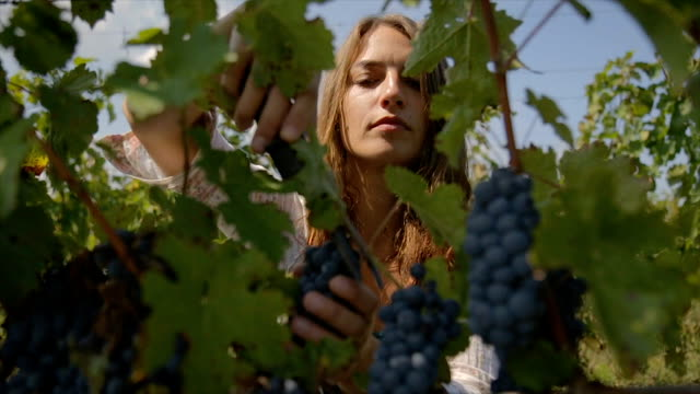 workers working in vineyard cutting grapes from vines. people picking grapes during wine harvest in vineyard. - viniculture stock videos & royalty-free footage