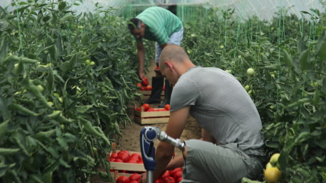 vídeos de stock e filmes b-roll de working day on tomato farm - tomate