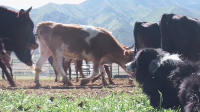 Gebrauchshund Sprünge, Vieh zu jagen