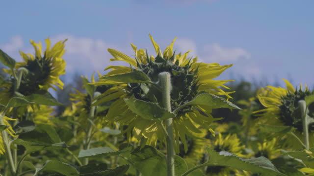 Working in sunflower plant
