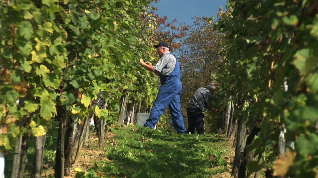 hd: working in the vineyard - bib overalls stock videos and b-roll footage