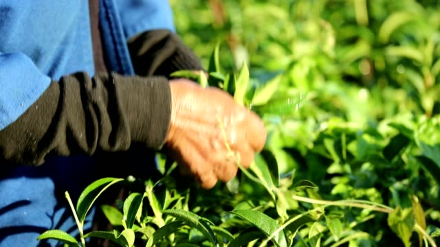 working people harvest green tea bush at morning, slow motion - tea crop stock videos & royalty-free footage