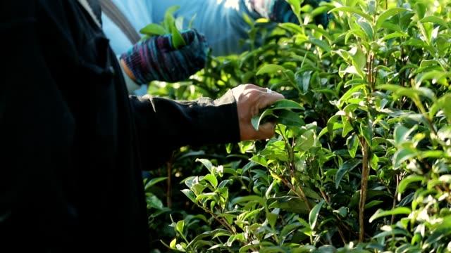 Die arbeitende Bevölkerung Ernte grüner Tee Busch am Morgen, Slow-motion