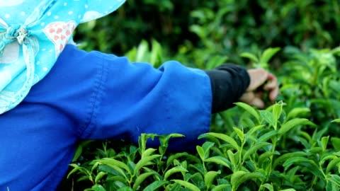 arbetande personer skörda grönt te bush på morgonen, slowmotion - bonde jordbruksyrke bildbanksvideor och videomaterial från bakom kulisserna
