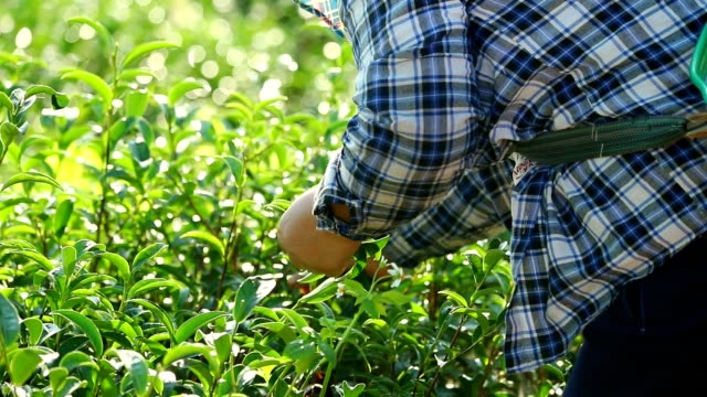 Working people harvest green tea bush at morning, slow motion