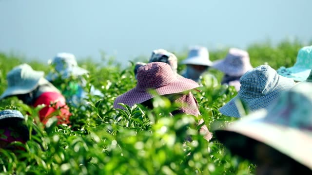 working people harvest green tea bush at morning, slow motion - picking harvesting stock videos & royalty-free footage