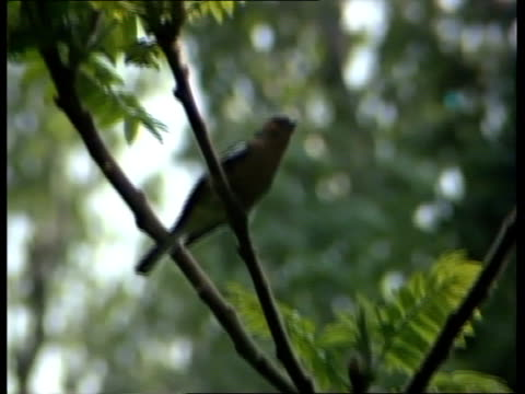 surrey ockley ms deciduous trees in forest zoom inms 'surrey wildlife' trust posterms winged insect on leafms side chaffinch... - berkshire england stock videos & royalty-free footage