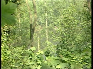 world wide fund for nature; tx 19.6.87 england: surrey: ockley deciduous trees in forest zoom in daddy long legs insect on leaf costa rica tgv... - deciduous tree stock videos & royalty-free footage