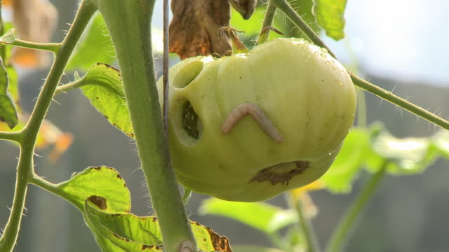 worm crawling on green tomato - vegetable stock videos & royalty-free footage