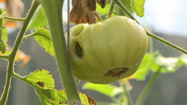 worm falls off green tomato - fungal mold stock videos & royalty-free footage