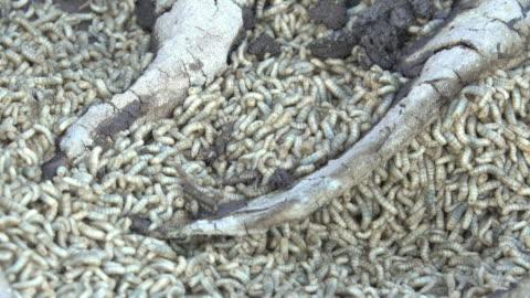 vídeos y material grabado en eventos de stock de gusano en una basura - grupo grande de animales
