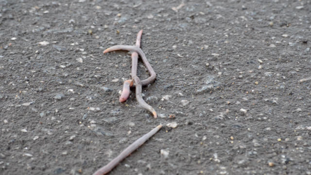 worms surfaced and appeared on the asphalt - worm stock videos and b-roll footage