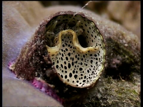 vídeos de stock, filmes e b-roll de cu wormsnail reeling in mucous, possibly serpulorbis grandis or dendropoma maxima - molusco invertebrado