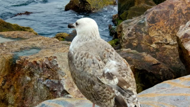 Wounded Gull Standing on a Rock
