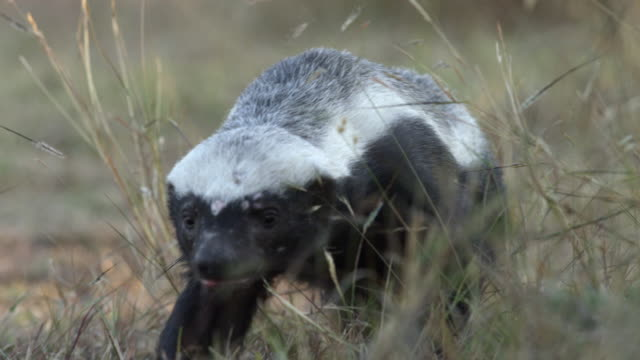 Wounded Honey Badger walks towards camera.