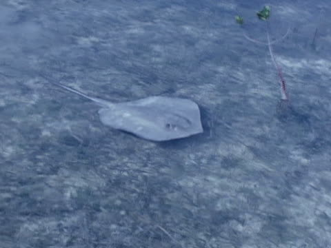a wounded stingray swims through a tidal flat - sea grass plant stock videos & royalty-free footage