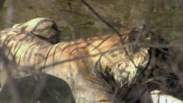 vidéos et rushes de a wounded tiger sleeps pressed on the floor in exhaustion - medium shot - medium group of animals
