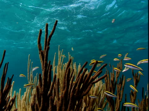 wrasse blennies swim around the waving fingers of corals just below the surface of the water. - history点の映像素材/bロール