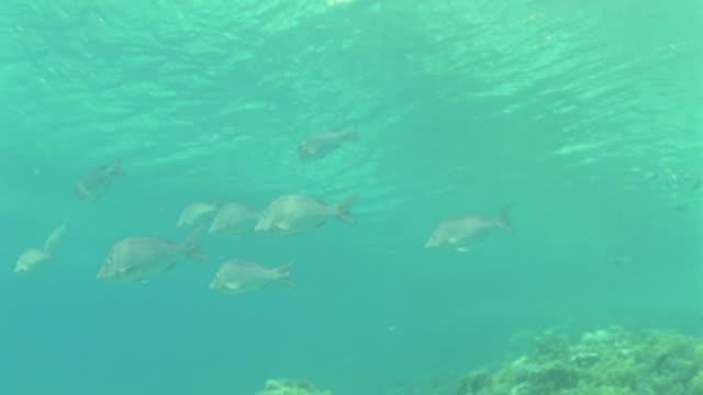 vídeos y material grabado en eventos de stock de  ms wrasse fish swimming over coral reef / egypt - lábrido