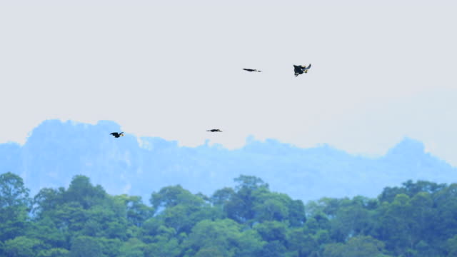 Wreathed hornbill a fly over the forest, Slow motion