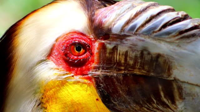Wreathed hornbill close-up