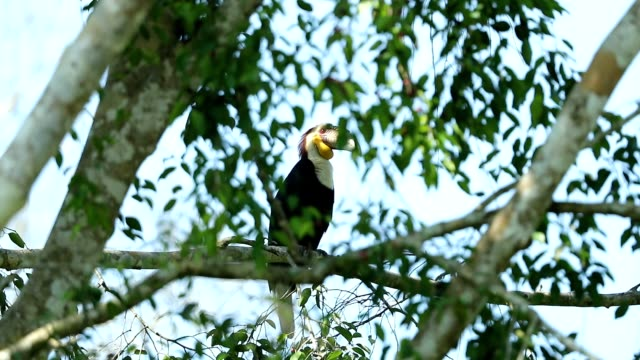 Wreathed hornbill in the nature, slow motion