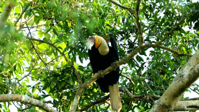 Wreathed hornbill in the nature