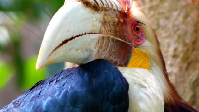 stockvideo's en b-roll-footage met achtergrond neushoornvogel kijken close-up camera 4k - bedreiging