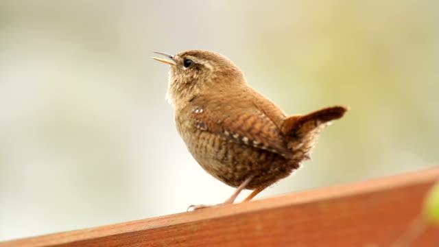 Wren Singing from a Garden Fence
