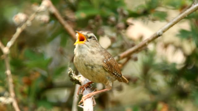 wren singing in deep cover - singing stock videos & royalty-free footage