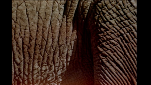 wrinkles cover the skin of an elephant. - tierhaut stock-videos und b-roll-filmmaterial