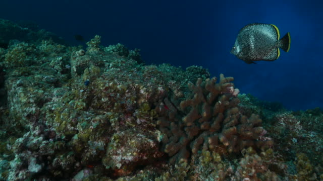 wrought iron butterflyfish (chaetodon daedalma) swimming at undersea coral reef, japan - butterflyfish stock videos & royalty-free footage