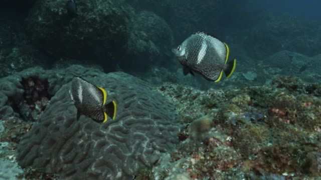 wrought-iron butterflyfish (chaetodon daedalma), a fish native to southern japan - butterflyfish stock videos & royalty-free footage