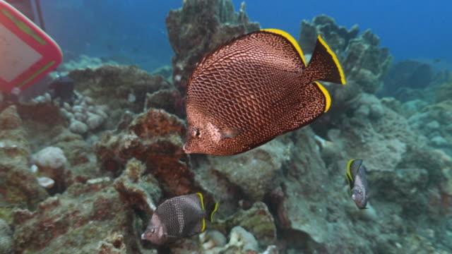 wrought-iron butterflyfish (chaetodon daedalma) - butterflyfish stock videos & royalty-free footage