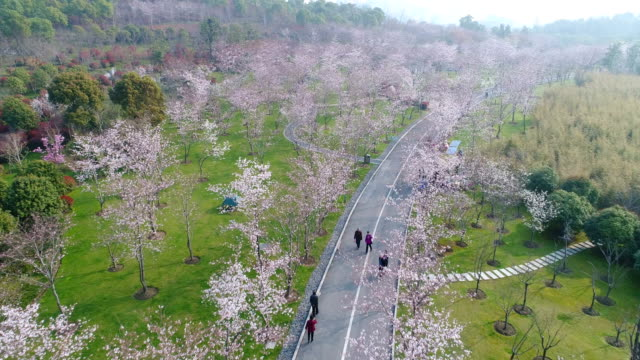 wuxi jingkui cherry blossom in the park - laubbaum stock-videos und b-roll-filmmaterial