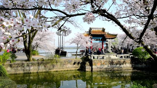 wuxi taihu yuantouzhu park cherry blossom - wuxi stock videos and b-roll footage