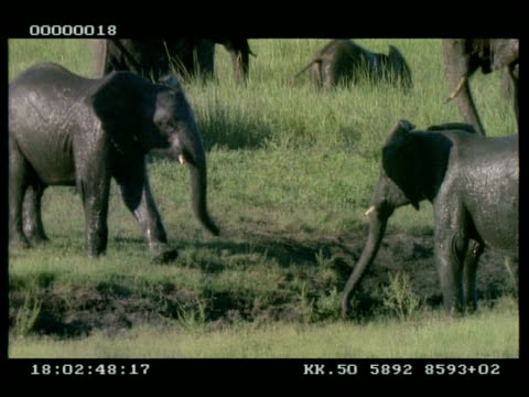 vídeos de stock e filmes b-roll de ms 2 x baby african elephants (loxodonta africana) play fighting at muddy pool - nariz de animal