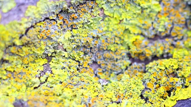 xanthoria parietina - 地衣類点の映像素材/bロール