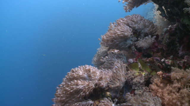 Xenia Pulsing Soft Coral feeding in current, shoaling fish in background, Southern Visayas, Philippines