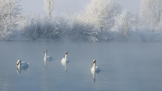 xinjiang swan spring at dawn - water bird stock videos & royalty-free footage