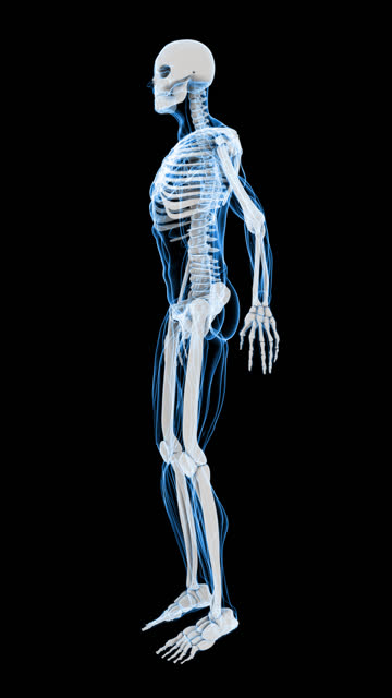 x-ray of human skeleton & muscle (hd vertical) - human muscle stock videos & royalty-free footage