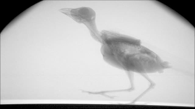 x-ray shot of a jackdaw. - tierisches skelett stock-videos und b-roll-filmmaterial