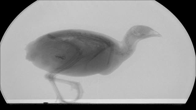 x-ray shot of a quail. - x ray equipment stock videos & royalty-free footage