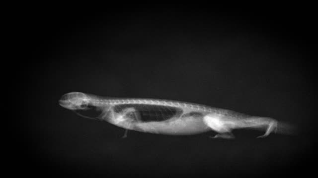 vídeos y material grabado en eventos de stock de x-ray video imaging of a lizard walking - rayos x