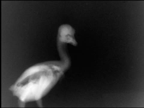B/W x-ray young duck looking around