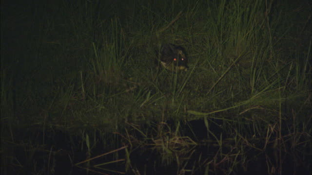 WS ZI Yacare Caiman (Caiman yacare) crawling into swamp at night / Pantanal, Mato Grosso do Sul, Brazil