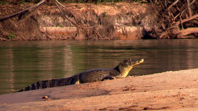 yacare caiman on beach of cuiaba river, pantanal, brazil - カイマン点の映像素材/bロール