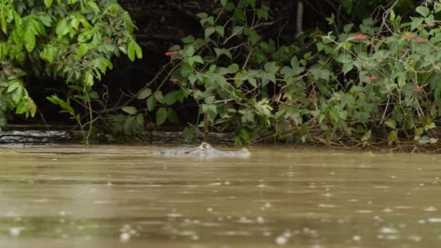 Yacare caiman (Caiman yacare) swims slowly down Cuiaba river.